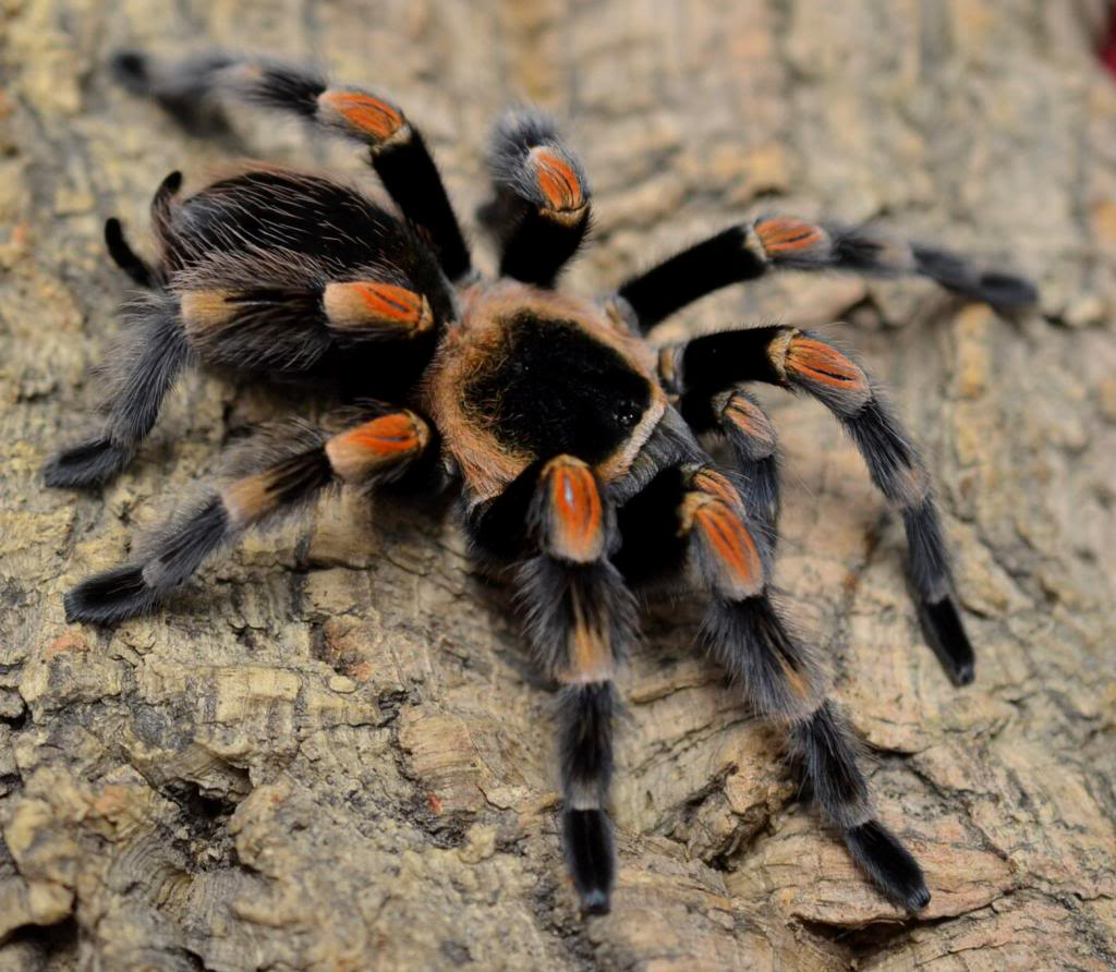 Beginner's Guide To The Mexican Red Knee Tarantula