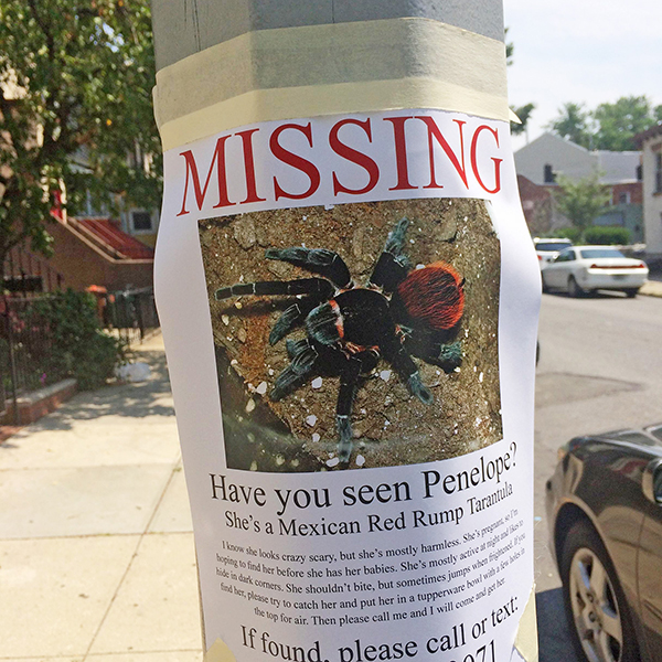 3032984-inline-i-1-a-giant-pregnant-tarantula-is-escaped-in-brooklyn